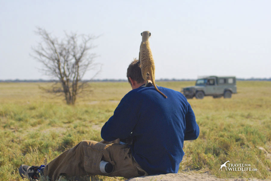 This habituated meerkat used us as a vantage point in Botswana
