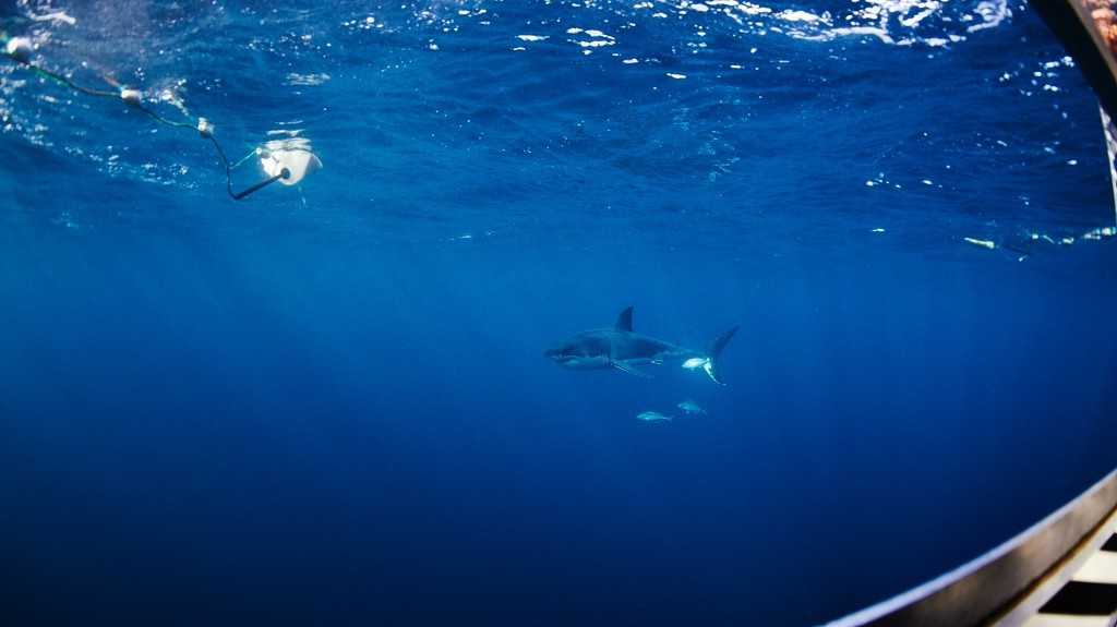 A shark swimming by the shark cage