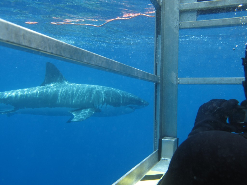 Watching great whites from the Aqua Sub