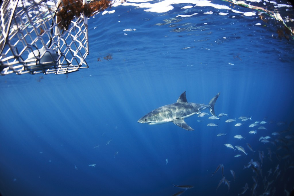 A shark inspecting the cage