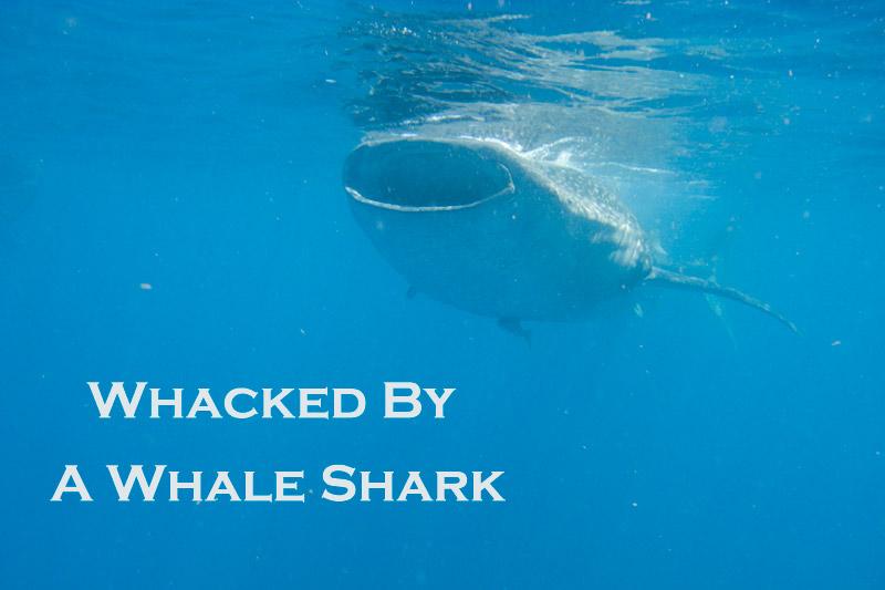 Whale shark close encounter