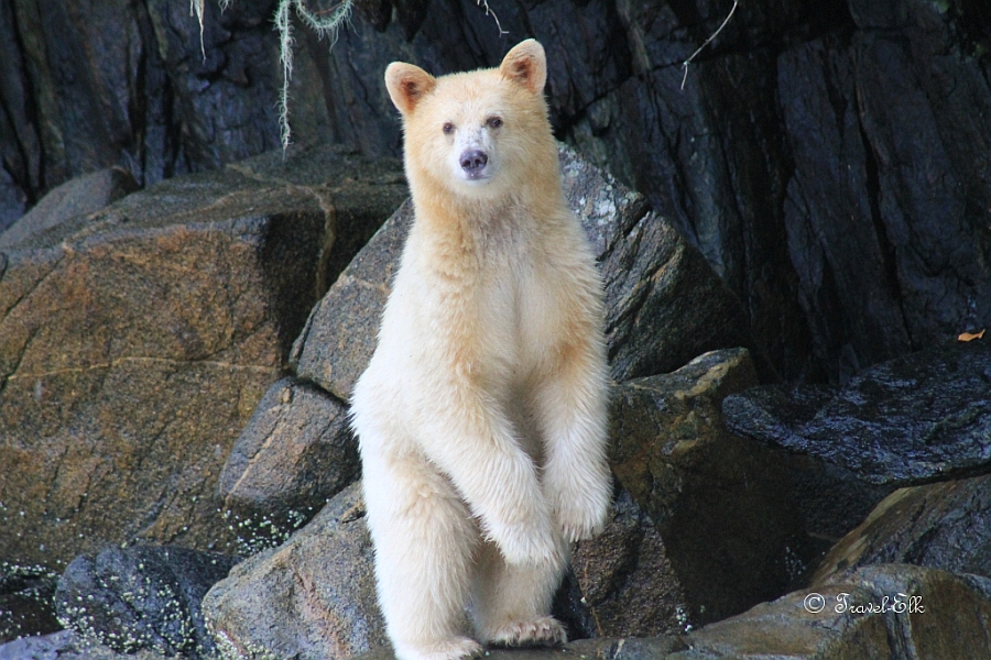 A curious Spirit Bear standing up and looking at the photographer