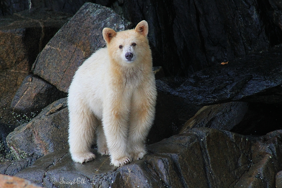 Face To With A Spirit Bear