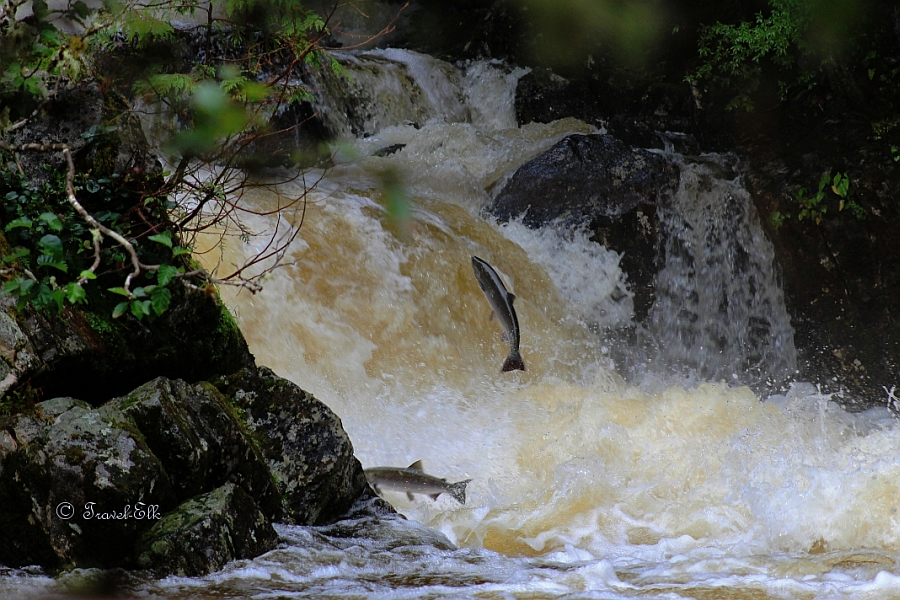 Salmon jumping out of the water