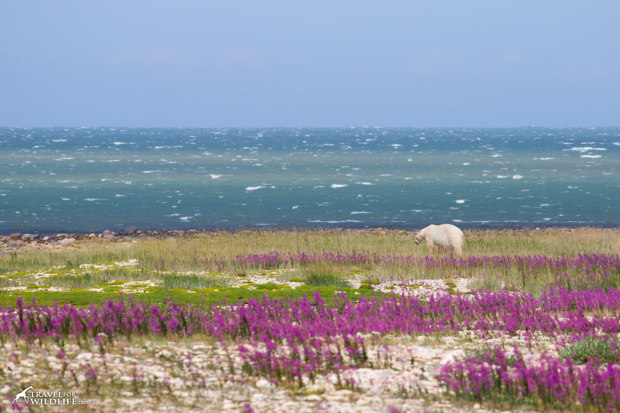 A polar bear walking in the fireweed by the Hudson Bay