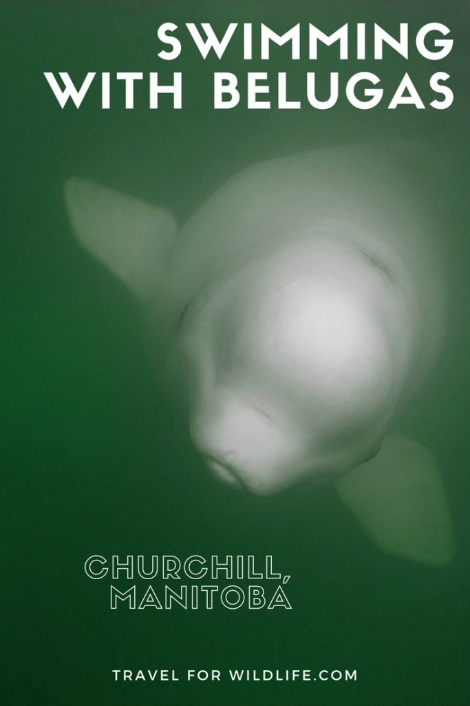 Swimming with belugas in Canada is one of the top wildlife encounters in the world. In this article, we'll show you how you can travel to Churchill, Manitoba, and swim with these incredible animals.