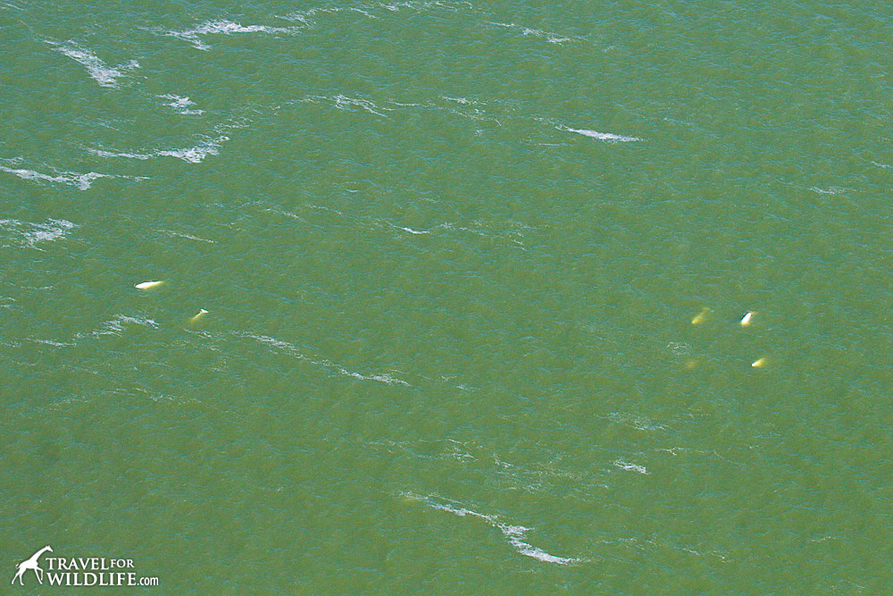 Beluga whales as seen from a plane