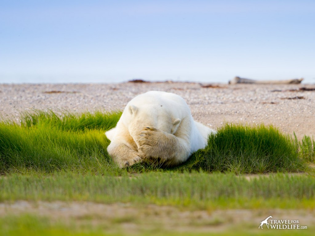 A polar bear sleeping on the grass