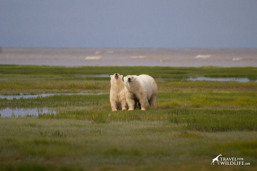 polar bear and her cub sniffing the air