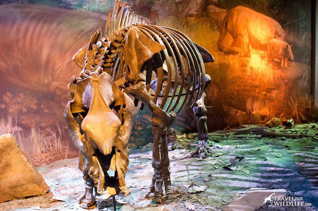 Teleoceras was an ancient rhino