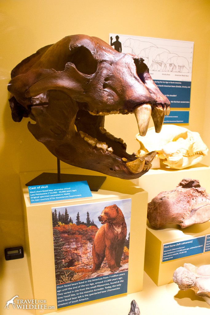 A skull of the biggest bear