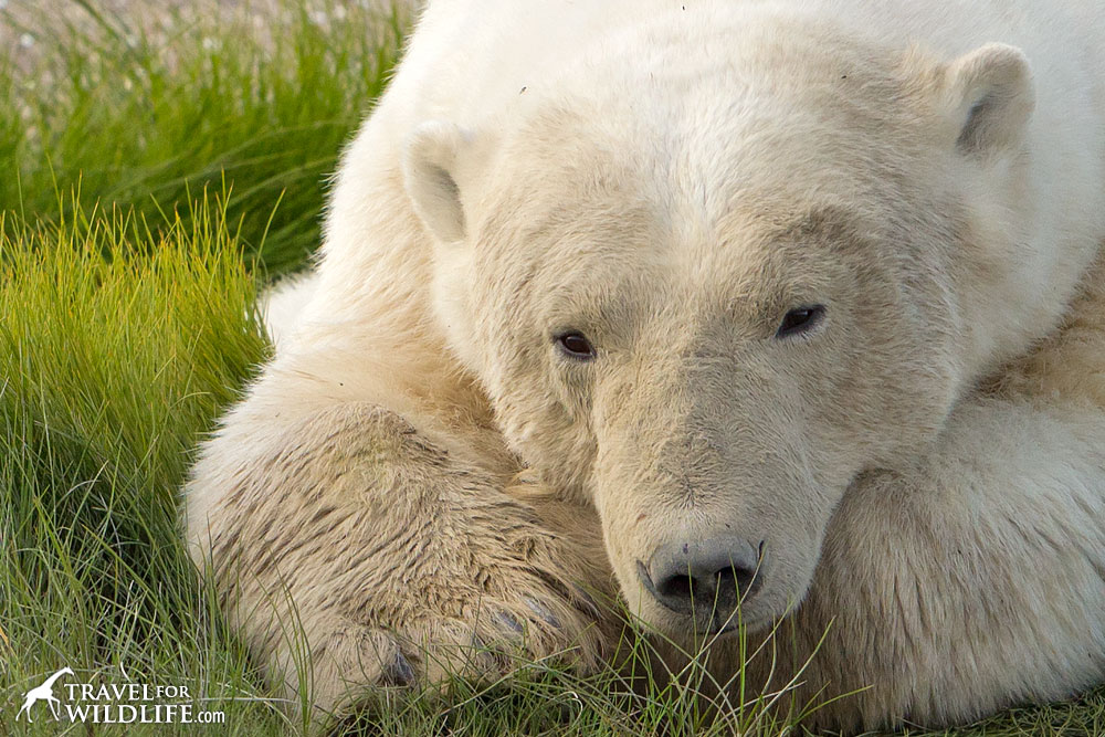 Polar bear resting on a grassy patch