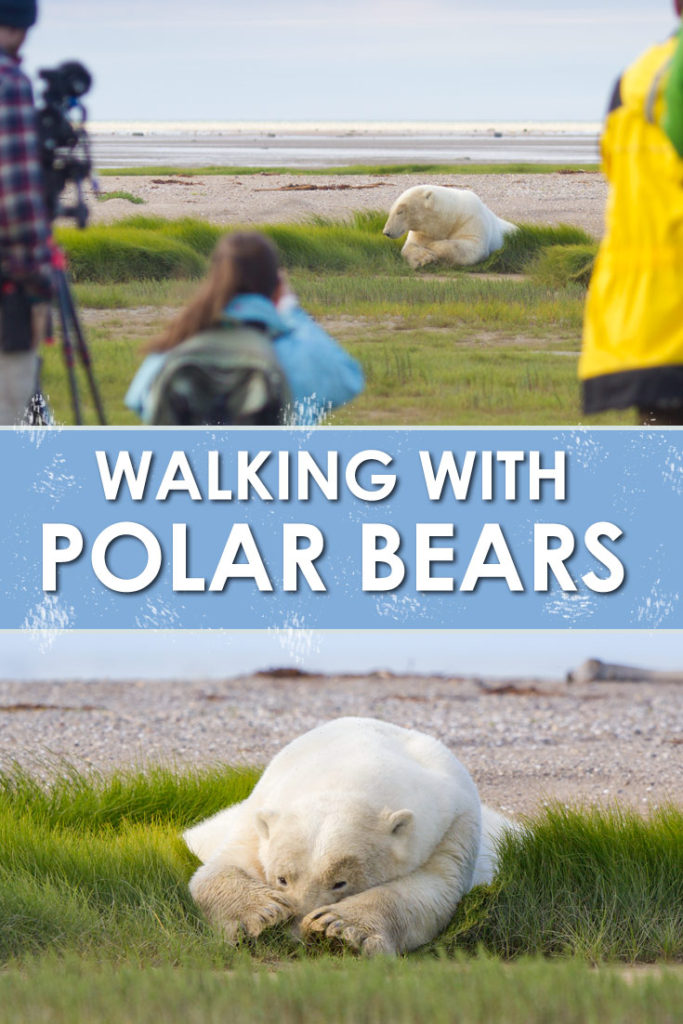 A walking polar bear safari is an incredible wildlife encounter. We encountered many bears during our trip, including a mother and her cub.