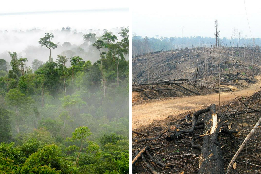 Before and after. Indonesian forests are slashed and burned for illegal palm oil plantations. Photos by Brad Sanders
