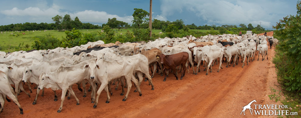 Millions of head of cattle now graze where Brazilian rainforest used to be