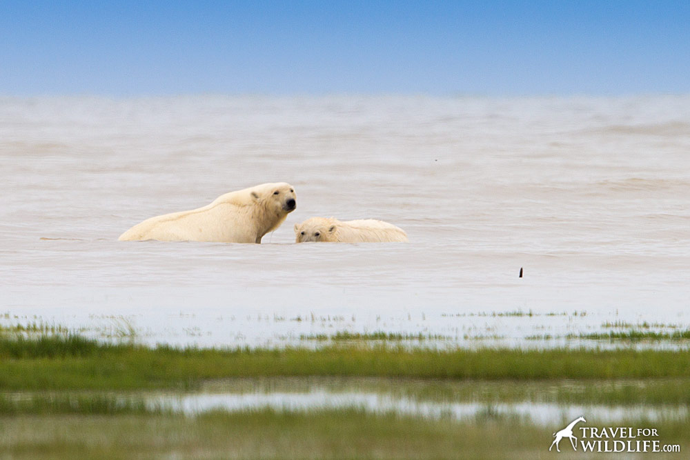Mother polar bear and cub taking a swim