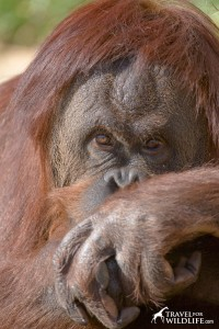 Palm Oil plantations are destroying orangutan habitat in Indonesia