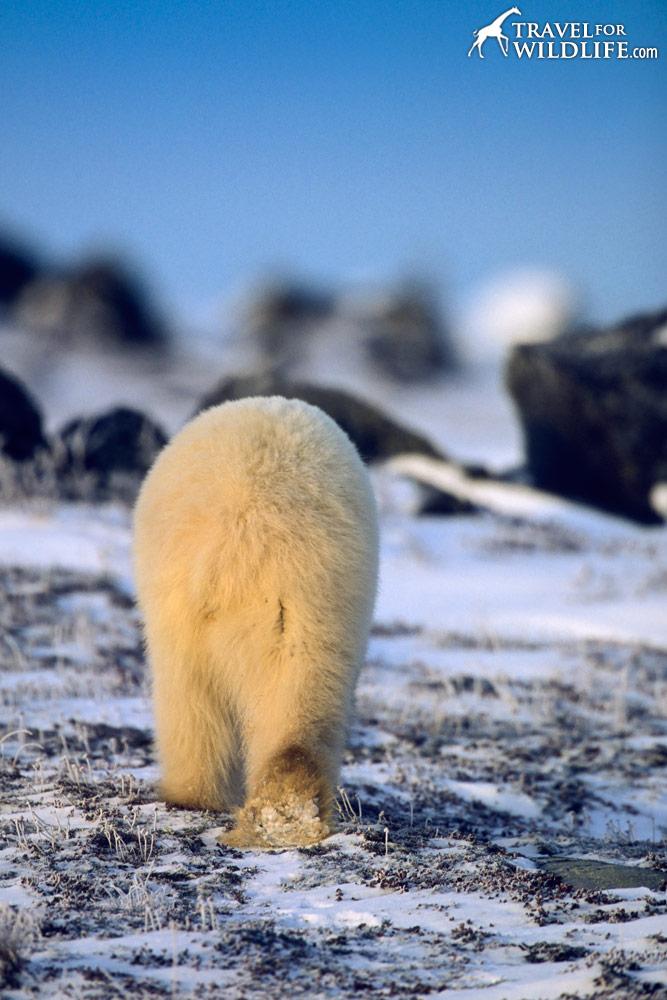 Polar Bear (Ursus maritimus) backside