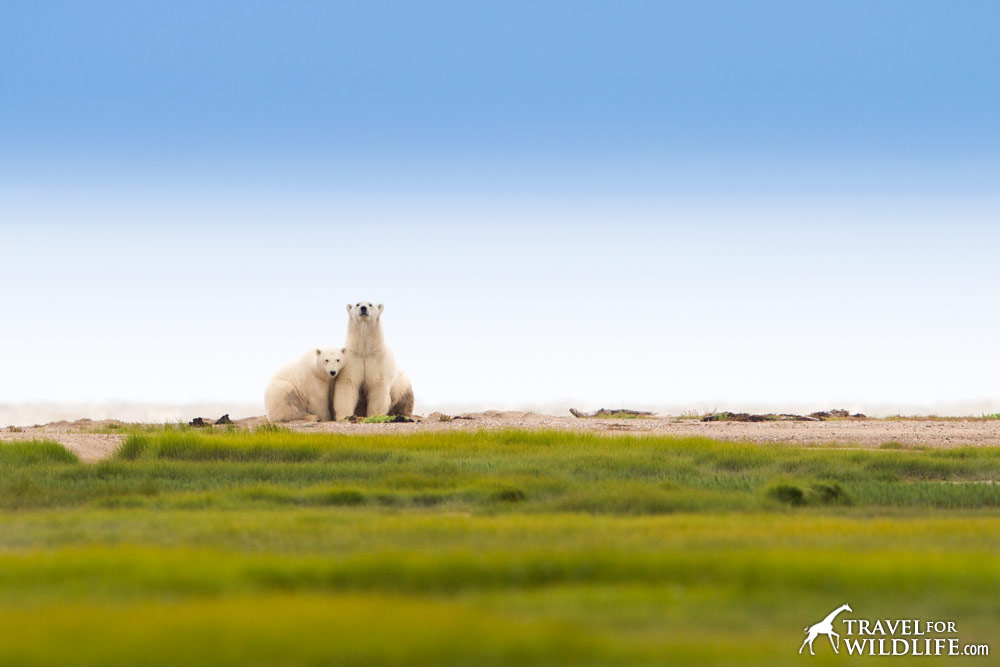 Polar bear and cub sitting and snuggling on the beach