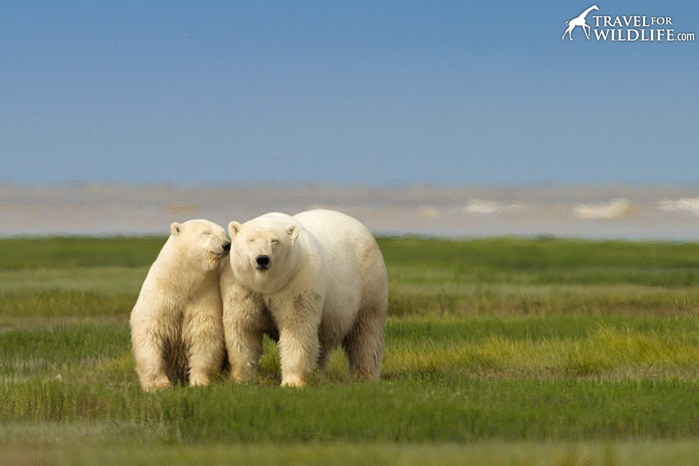 A mom polar bear and cub