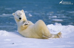 This is how polar bears chill out