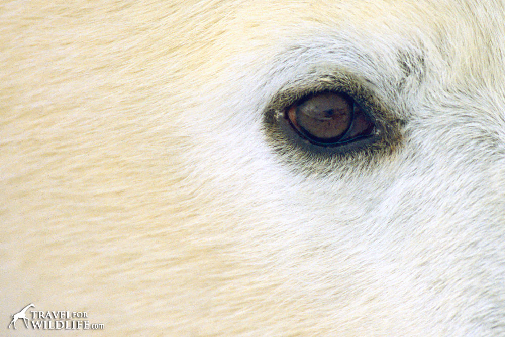 Close up of a polar bear eye