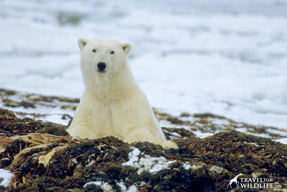 Polar bear waking up