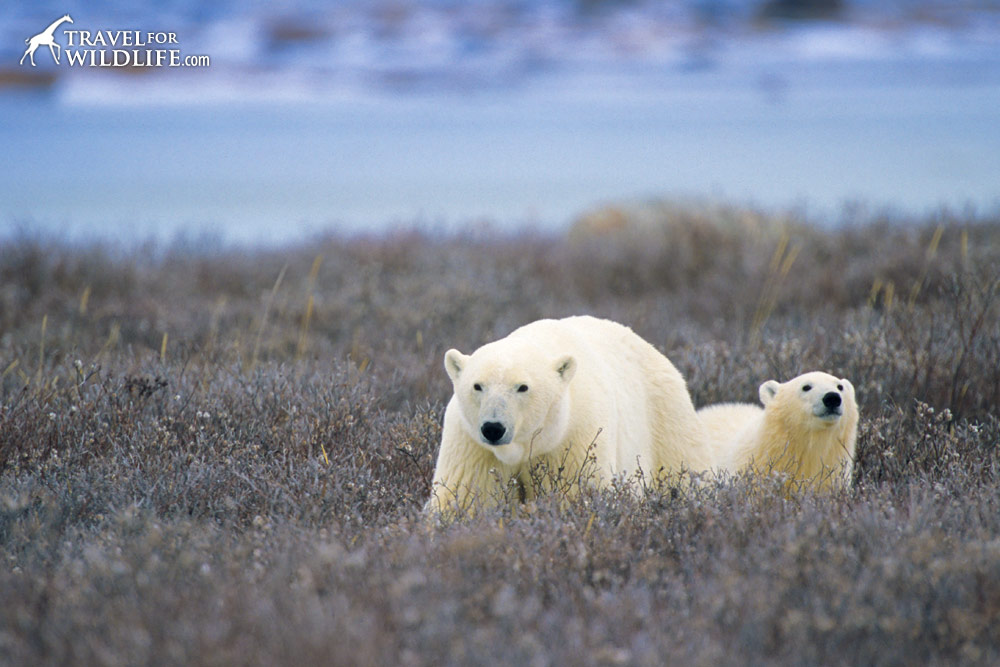 Female Polar Bear (Ursus maritimus) with her cub.  Churchill, Manitoba, Canada 10/03 © Hal Brindley