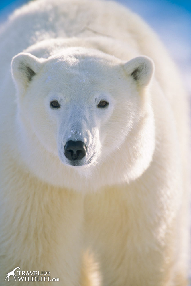 Polar bear standing and staring at the photographer