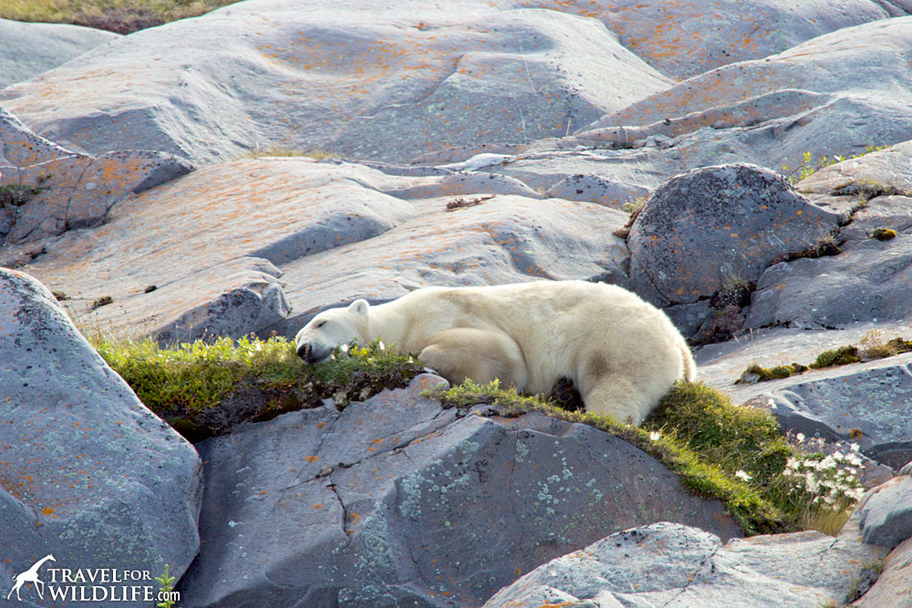 Polar bear resting on a bed of grass by Churchill
