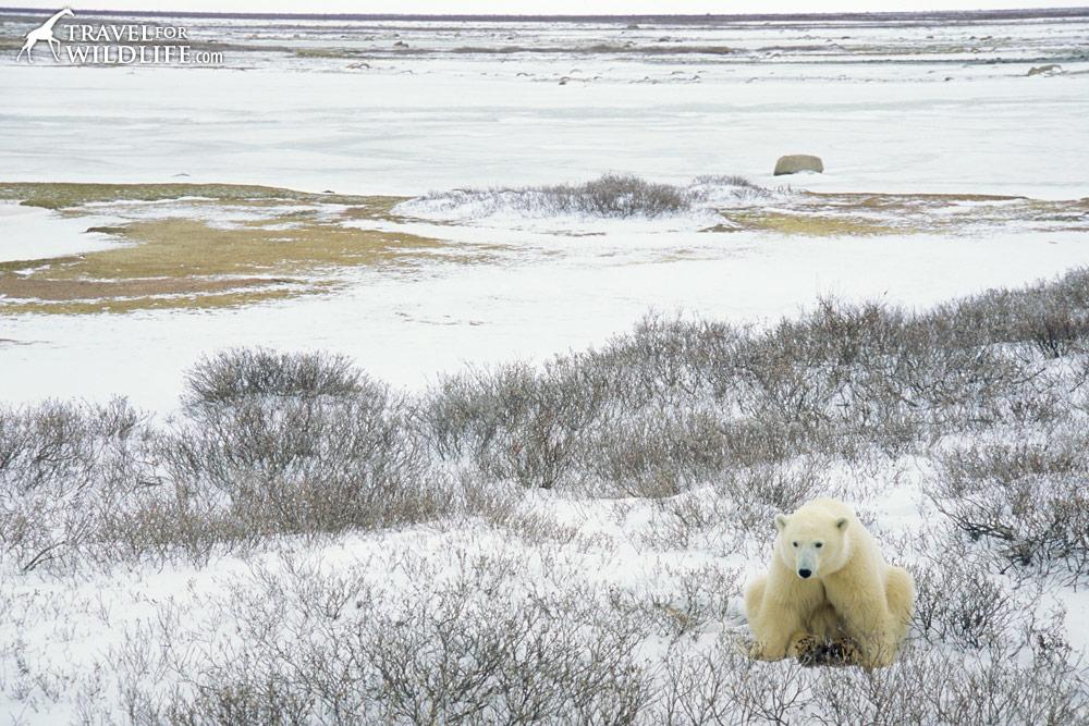 Polar bear sitting on the snow