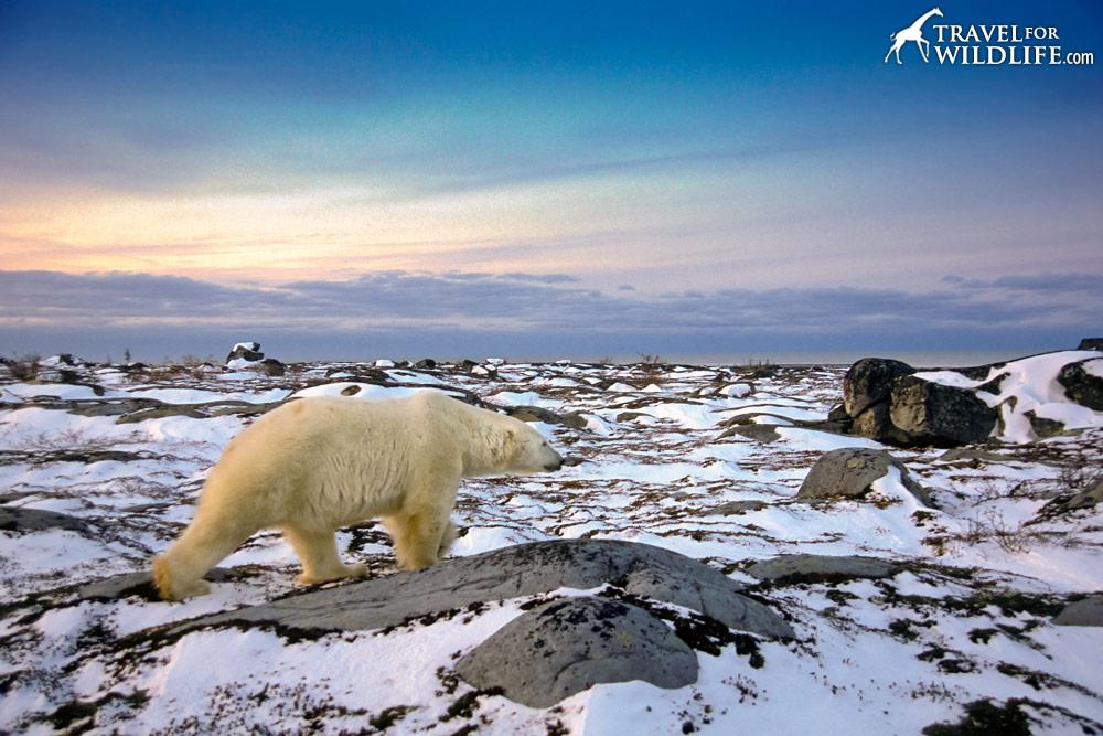 Polar bear walking on a snowy Hudson Bay at sunset
