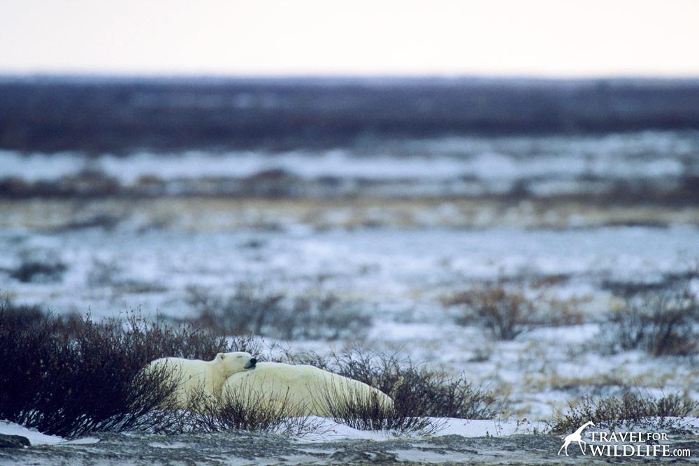 Polar Bears (Ursus maritimus), female bear sleeping with cub. Churchill, Manitoba, Canada 10/03 © Hal Brindley