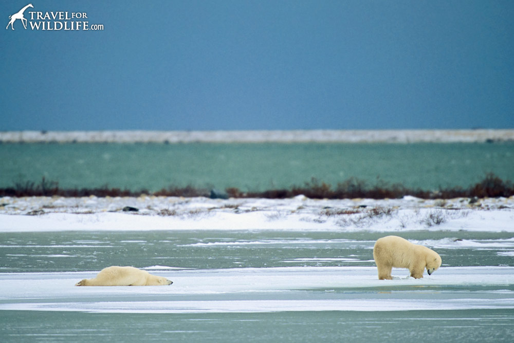 Polar bears goofing around