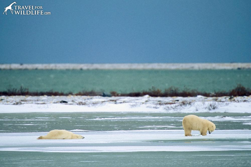 Polar bears goofing around