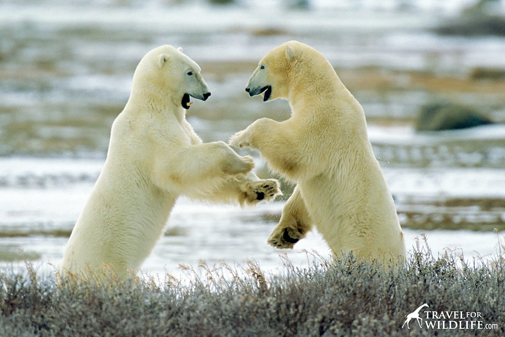 Two polar bears standing up and facing each other