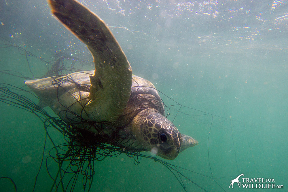 Thousands of sea turtles still die each year as bycatch in the shrimp industry