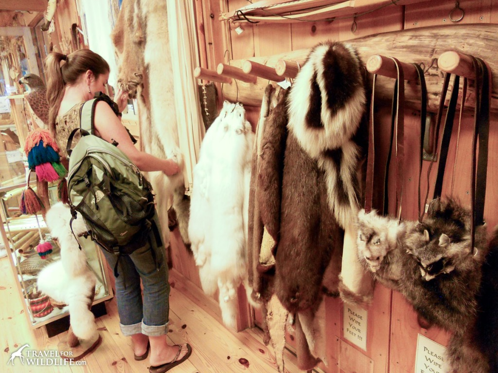 A souvenir shop in North Carolina containing mountain lion, wolf, and many other pelts