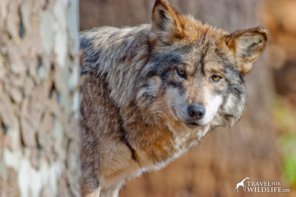 "Our voracious demand for meat causes ranchers to ""protect"" their livestock by shooting wolves."
