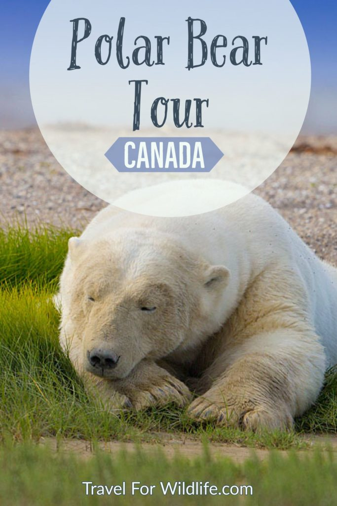When planning your Canada trip, make sure you include a polar bear tour. Walk in the tundra and watch polar bears in their natural environment. You'll also get the chance to see black bears, and wolves! This is one Canadian adventure you can't miss. This is definitely the trip of a lifetime.  #Canada #Manitoba #polarbear
