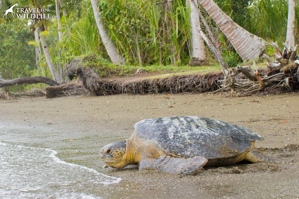 Green Sea Turtle heading back to sea