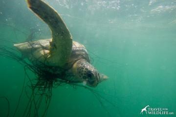 sea turtle entangled in net
