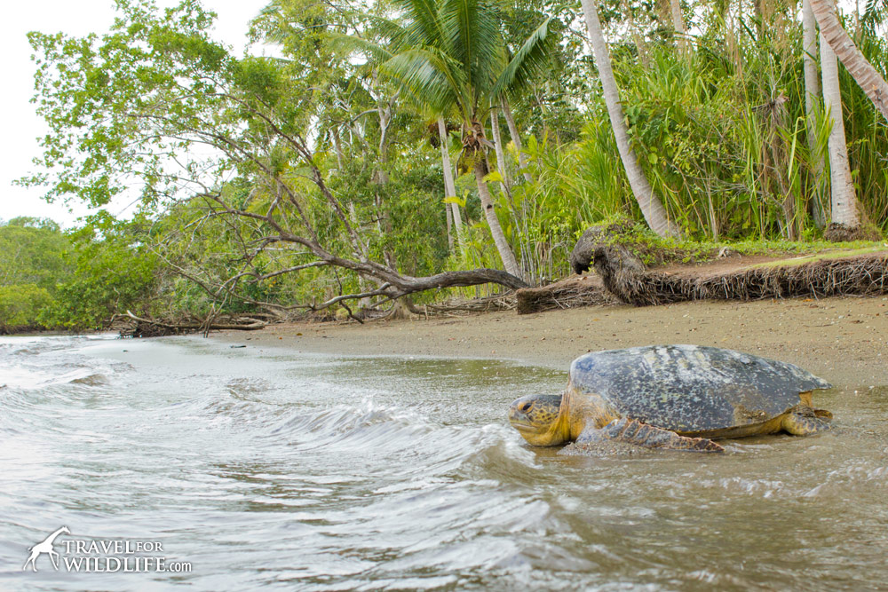 A Green Sea Turtle heads back to sea in the Golfo Dulce, Costa Rica