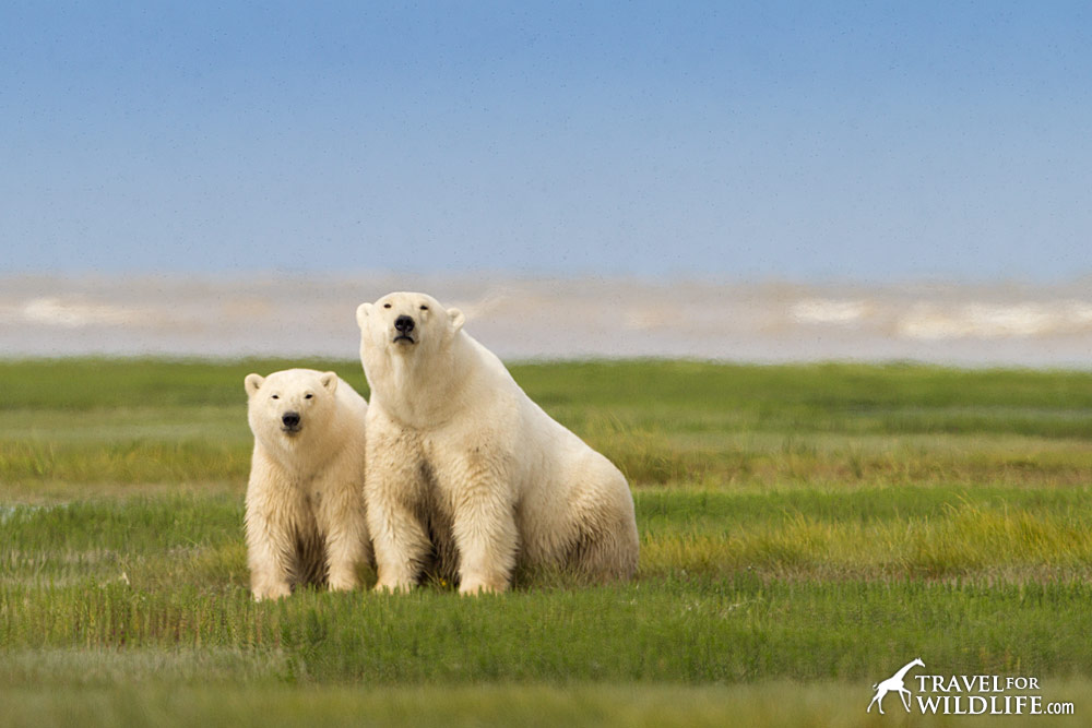 A polar bear cub snuggles with her mom