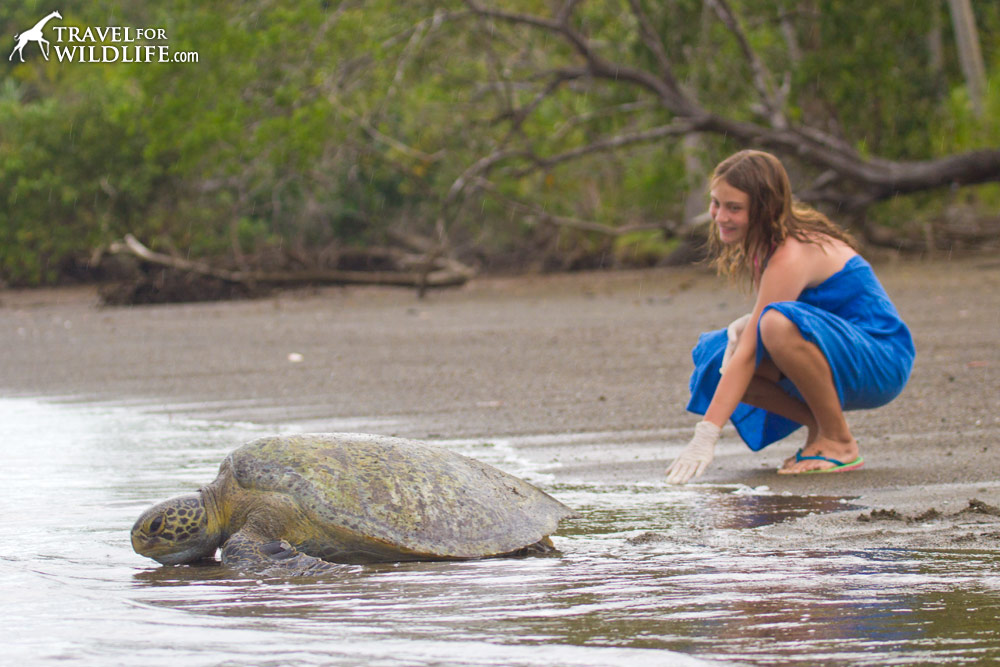 releasing a green sea turtle