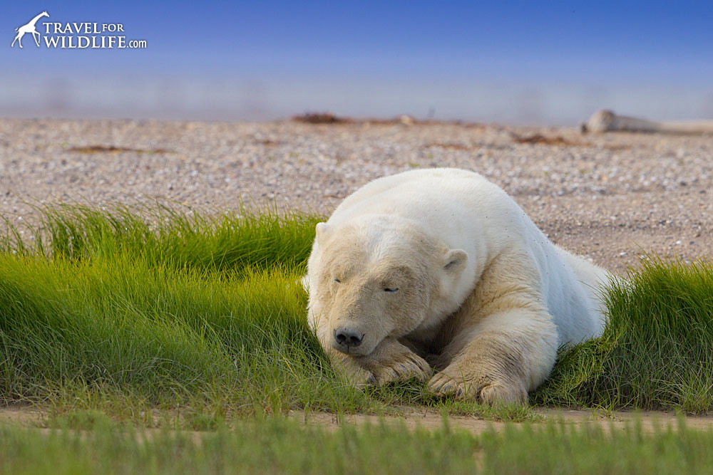 A polar bear sleeps on a patch of grass