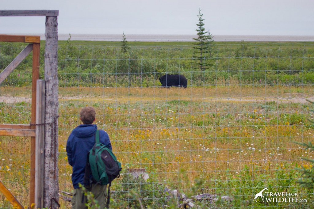 Watching a black bear from the fence with the Hudson Bay in the distance