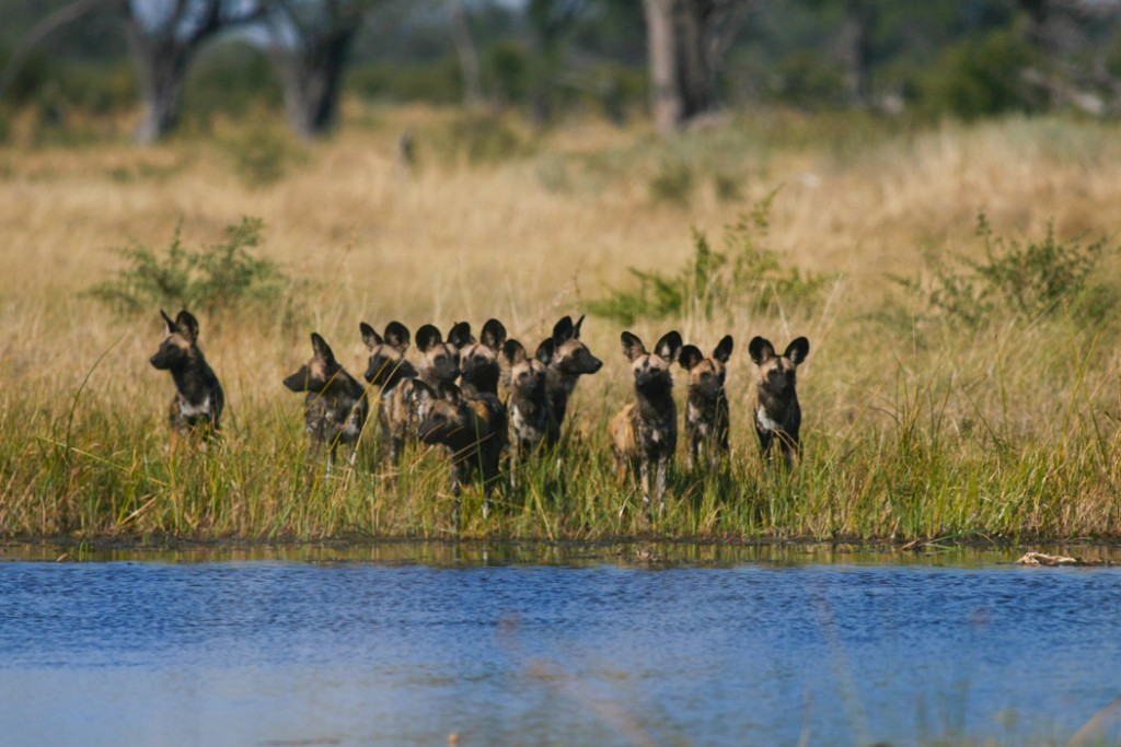 a pack of wild dogs on the chobe river shore
