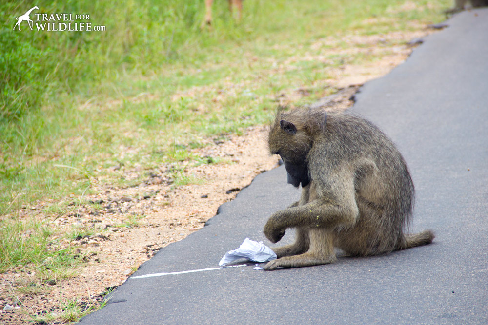 a baboon stealing trash in Kruger South Africa