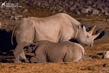 Black rhino nursing her calf